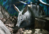 Чудо с когтями и пятачком: удивительные приключения трубкозуба в Москве